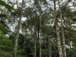 Kebun durian di Lingsar