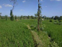 tanah sawah monggas